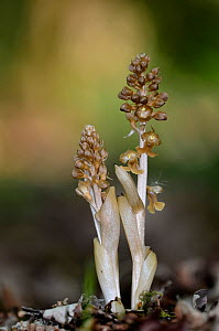 Birdsnest orchid (Neottia nidus-avis) in flower, Dorset, UK May. - Colin Varndell