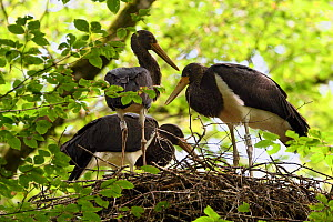 Black stork (Ciconia nigra) chicks on nest, Vosges, France, July.  -  Fabrice  Cahez