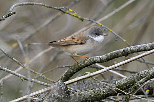 Common whitethroat, (Sylvia communis), Vosges, France, April  -  Fabrice  Cahez