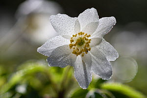 Wood anemone (Anemone nemorosa) covered in dew drops, Vosges, France, March.  -  Fabrice  Cahez