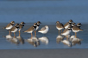 Common ringed plover (Charadrius hiaticula) flock standing in water, Brittany, France, October.  -  Fabrice  Cahez