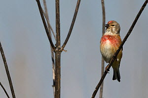 Common linnet (Linaria cannabina) male in breeding plumage, Vosges, France, April. - Fabrice  Cahez