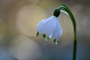 Spring snowflake flower (Leucojum vernum) with bokeh effect,  Vosges, France, March. - Fabrice  Cahez