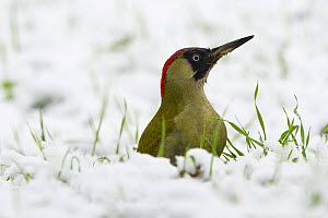 European green woodpecker (Picus viridis)  female on ground in snow, Vosges, France, December. - Fabrice  Cahez