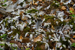 Wood pigeon (Columba palumbus) feathers scattered on forest floor after predator had caught it, Vosges, France, April. - Fabrice  Cahez