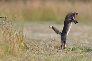 Red fox (Vulpes vulpes) pup catching mole,  Vosges, France, June. - Fabrice  Cahez