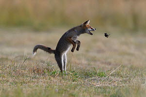 Red fox (Vulpes vulpes) pup playing with Mole prey (Talpa europaea) Vosges, France, June. - Fabrice  Cahez