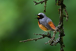 Common redstart  (Phoenicurus phoenicurus) male, singing in a tree, Vosges, France, June. - Fabrice  Cahez