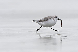 Sanderling (Calidris alba) carrying washed up seahorse, Britanny, France, October.  -  Fabrice  Cahez
