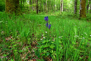 Black rampion (Phyteuma nigrum) in beech forest, Vosges, France, May.  -  Fabrice  Cahez