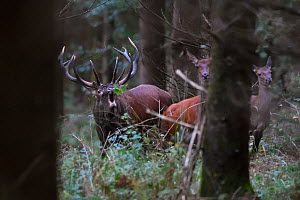 Red deer (Cervus elaphus) stag roaring, with hinds nearby amongst forest trees,  Vosges, France, September.  -  Fabrice  Cahez