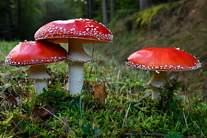 Fly agaric (Amanita muscaria) Vosges forest, France, September.  -  Fabrice  Cahez