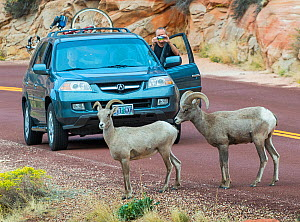 Tourists vehicle stopped in road by Desert bighorn sheep  (Ovis canadensis nelsoni) crossing,  Zion National Park,  Utah, USA, October 2012.  -  Jack Dykinga