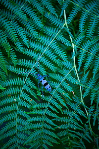 Rosalia longicorn (Rosalia alpina), on fern, Redes Natural Park, Caso Council, Asturias, Spain. - Juan  Carlos Munoz
