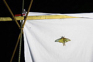 Spanish moon moths (Graellsia isabellae) male attracted to brightly lit white sheet at night during scientific research, The Ports Natural Park, Catalonia, Spain. June.  -  Juan  Carlos Munoz