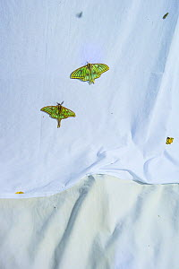 Spanish moon moths (Graellsia isabellae) male and female attracted to brightly lit white sheet at night during scientific research, The Ports Natural Park, Catalonia, Spain. June.  -  Juan  Carlos Munoz