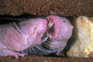 Naked mole rats  (Heterocephalus glaber), squabbling over tuber, captive.  -  Visuals Unlimited