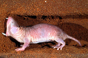 Naked mole rats  (Heterocephalus glaber), digging using teeth, captive.  -  Visuals Unlimited