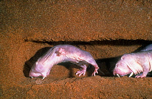 Naked mole rats  (Heterocephalus glaber), digging, captive.  -  Visuals Unlimited