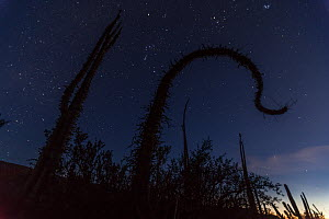 Boojum tree (Fouquieria columnaris) at night with the Orion Constellation, Sonoran Desert, Valle de los Cirios Biosphere Reserve, Baja California Peninsula, Mexico, March - Claudio  Contreras