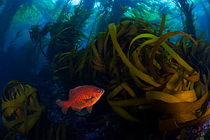 Black surfperch (Embiotoca jacksoni) among Southern sea palm (Eisenia arborea) and Giant kelp (Macrocystis pyrifera) forest, San Benitos Islands, Baja California Pacific Islands Biosphere Reserve, Baj...  -  Claudio  Contreras