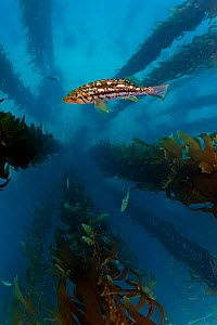Kelp bass / Rock sea bass (Paralabrax clathratus) and Giant kelp (Macrocystis pyrifera) forest, San Benitos Islands, Baja California Pacific Islands Biosphere Reserve, Baja California, Mexico, May  -  Claudio  Contreras
