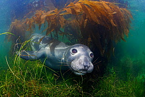 Northern elephant seal (Mirounga angustirostris) and Giant Kelp (Macrocystis pyrifera), Cedros Island, Pacific Ocean, Baja California, Mexico, May  -  Claudio  Contreras