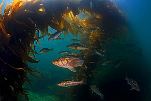 Kelp bass / Rock sea bass (Paralabrax clathratus) and Giant Kelp (Macrocystis pyrifera), Cedros Island, Pacific Ocean, Baja California, Mexico, May  -  Claudio  Contreras