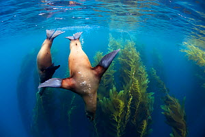 Californian sea lion (Zalophus californianus) and Giant kelp (Macrocystis pyrifera) forest, San Benitos Islands, Baja California Pacific Islands Biosphere Reserve, Baja California, Mexico, May  -  Claudio  Contreras