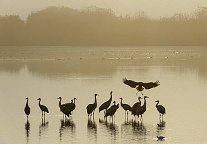 Flock of Common cranes (Grus grus)  at roost at dawn on a misty morning. Hula Valley, Israel. November  -  Chris Gomersall