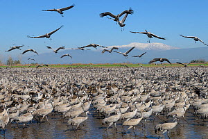 Flock of Common cranes (Grus grus) wintering in the Hula Valley with snow-capped Mount Hermon in background. Israel. January.  -  Chris Gomersall