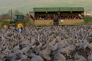 Tourists in a 'safari wagon' observing a flock of Common cranes (Grus grus) in the Hula Valley, Israel. January. The cranes are fed on maize kernels by a farmers' co-operative, to mitigate against cro...  -  Chris Gomersall