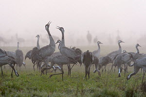 Flock of common cranes (Grus grus) feeding on a misty morning in the Hula Valley, Israel. January. The cranes are fed on maize kernels by a farmers' co-operative, to mitigate against crop damage.  -  Chris Gomersall