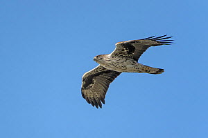 Bonelli's eagle (Hieraaetus fasciatus) adult in flight. Golan Heights, Israel. January  -  Chris Gomersall