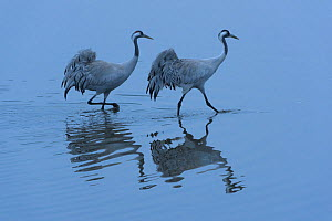 Two adult Common cranes (Grus grus) wading in wetland, early morning. Hula Valley, Israel. January  -  Chris Gomersall