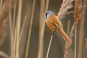 Bearded tit or bearded reedling (Panurus biarmicus) adult male perched on common reed (Phragmites australis). Norfolk, England. February  -  Chris Gomersall