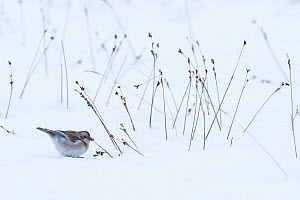 Snow bunting (Plectrophenax nivalis) female in snowy landscape, feeding on seeds of rush. Cairngorms National Park, Scotland. February - Chris Gomersall