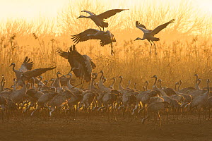 Common cranes (Grus grus) flock feeding just after dawn. Hula Valley, Israel. January. The cranes are fed on maize kernels by a farmers' co-operative, to mitigate against crop damage.  -  Chris Gomersall
