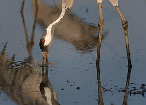 Common crane (Grus grus) adult feeding in the Hula Valley, Israel. January. The cranes are fed on maize kernels by a farmers' co-operative, to mitigate against crop damage.  -  Chris Gomersall