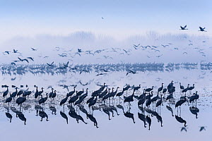 Flock of common cranes (Grus grus) taking off from roost lake at dawn. Hula Valley, Israel. January.  -  Chris Gomersall