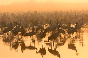 Flock of common cranes (Grus grus) feeding early on a misty morning. Hula Valley, Israel. January. The cranes are fed on maize kernels by a farmers' co-operative, to mitigate against crop damage.  -  Chris Gomersall