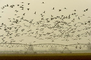 Flock of common cranes (Grus grus) in flight over irrigated arable fields. Hula Valley, Israel. January.  -  Chris Gomersall