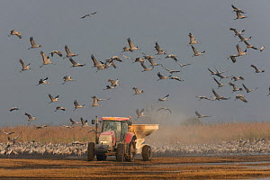 Flock of Common cranes (Grus grus) feeding in the Hula Valley, Israel. January. The cranes are being fed on maize kernels by a farmers' co-operative, to mitigate against crop damage.  -  Chris Gomersall
