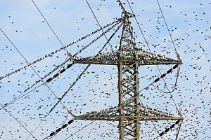 Pre-roost gathering of common starlings (Sturnus vulgaris) on an electricity pylon. Negev Desert, Israel. January 2016. Honorable mention in the Garden and Urban Birds Category of the Bird Photographe...  -  Chris Gomersall