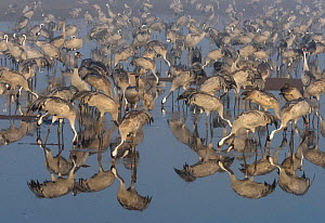 Flock of common cranes (Grus grus) feeding in the Hula Valley, Israel. January. The cranes are fed on maize kernels by a farmers' co-operative, to mitigate against crop damage.  -  Chris Gomersall