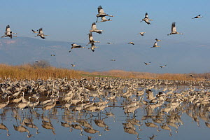 Common cranes (Grus grus) flock feeding in the Hula Valley, Israel. January. The cranes are fed on maize kernels by a farmers' co-operative, to mitigate against crop damage.  -  Chris Gomersall