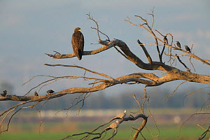 Greater spotted eagle (Aquila clanga) juvenile perched in dead tree. Hula Valley, Israel. November. - Chris Gomersall