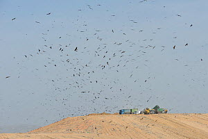 Black kites (Milvus migrans) gathering at a landfill site. Negev desert, Israel. January.  -  Chris Gomersall