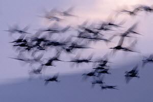 Common cranes (Grus grus) flying to roost at dusk, with motion blur, Hula Valley, Israel. November.  -  Chris Gomersall