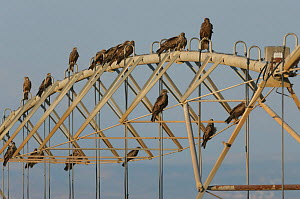 Black kites (Milvus migrans) perched on agricultural irrigation pipes. Hula Valley, Israel. November. - Chris Gomersall